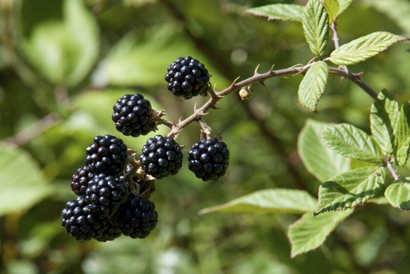 Blackberry branches have thorns that can cause puncture wounds for gardeners. And those wounds can allow infections from pathogens in the soil.