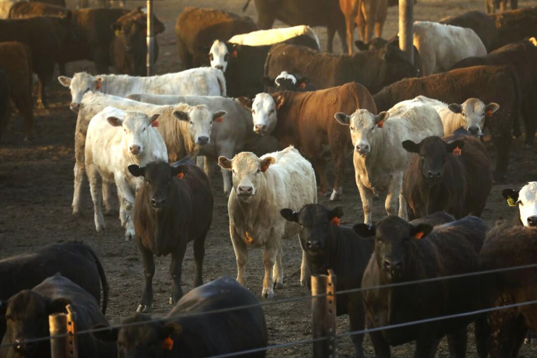 Cattle at Harris Feeding Company