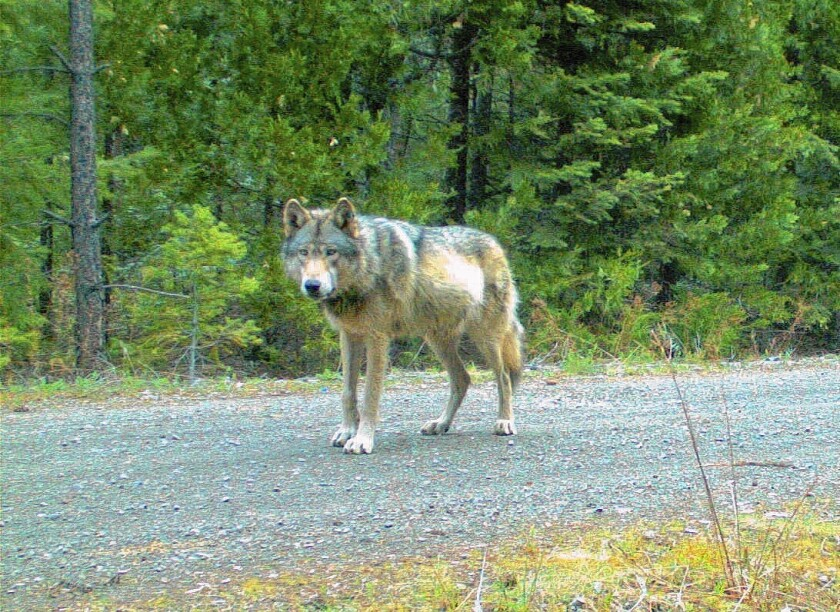 Gray wolf OR7 in Oregon