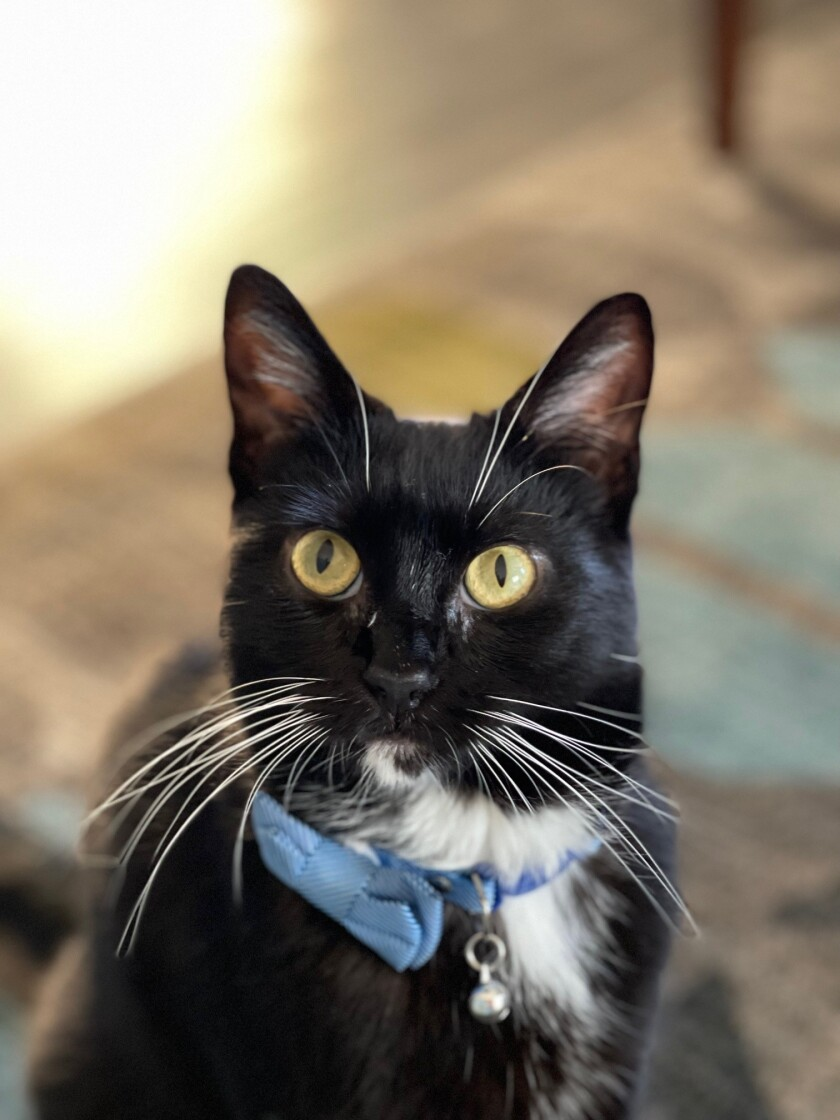 Dale, an adult tuxedo cat, was the 3,000th feline adopted out by the Cat Lounge in La Jolla.