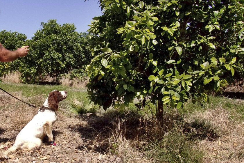 """In this April 2016 photo provided by the United States Department of Agriculture, detector canine """"Bello"""" works in a citrus orchard in Texas, searching for citrus greening disease, a bacteria that is spread by a tiny insect that feeds on citrus trees. (Gavin Poole/USDA via AP)"""