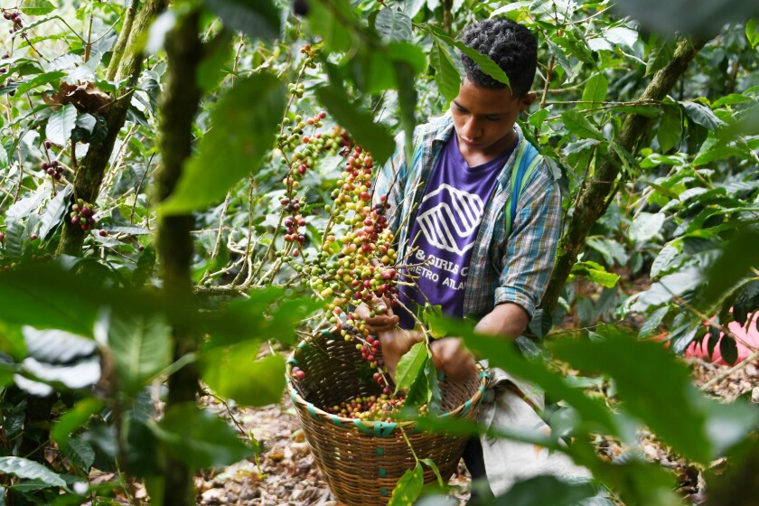 A worker harvests coffee beans in Honduras near its border with Nicaragua.