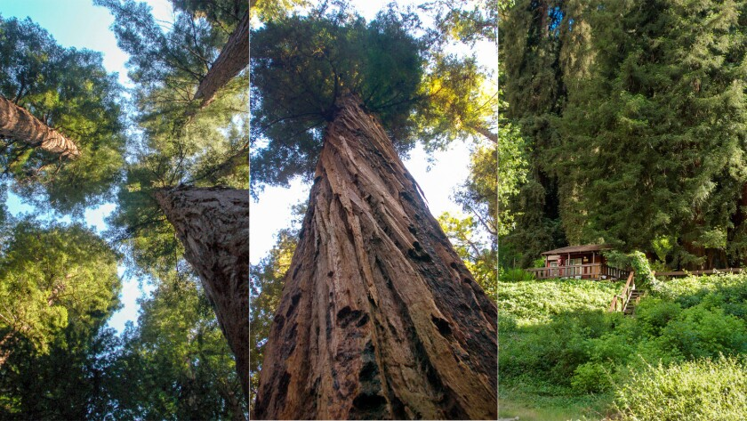 Some of the largest trees in Henry Cowell Redwoods State Park, left and center, may be 1,500 years old. Redwoods also tower above Fern River Resort, right.