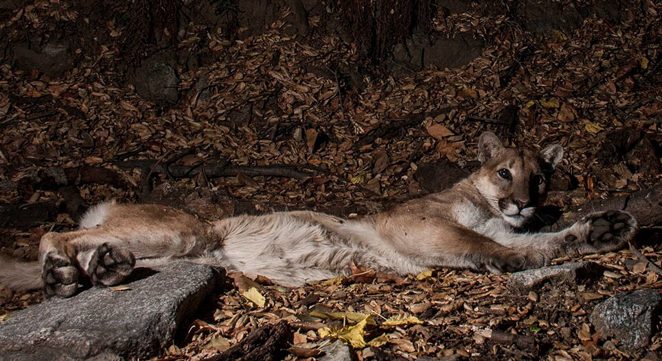 P-41 was a male mountain lion who made the Verdugo Mountains his home.