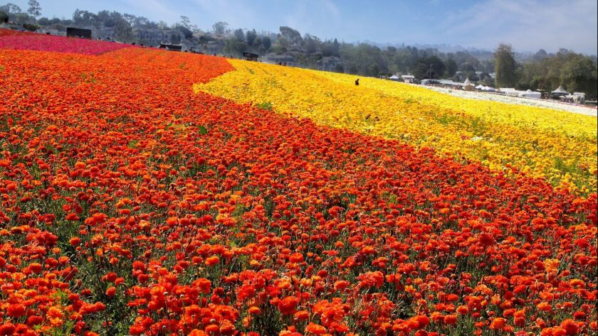 CARLSBAD, CA. -- Ribbons of color mark the arrival if spring at The Flower Fields. (Photo by Marcie