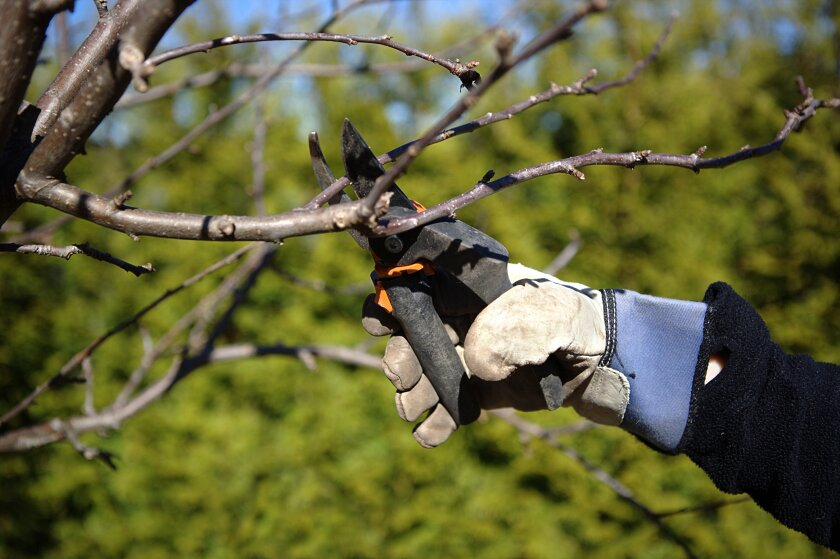 November is a good time to prune ornamental trees.