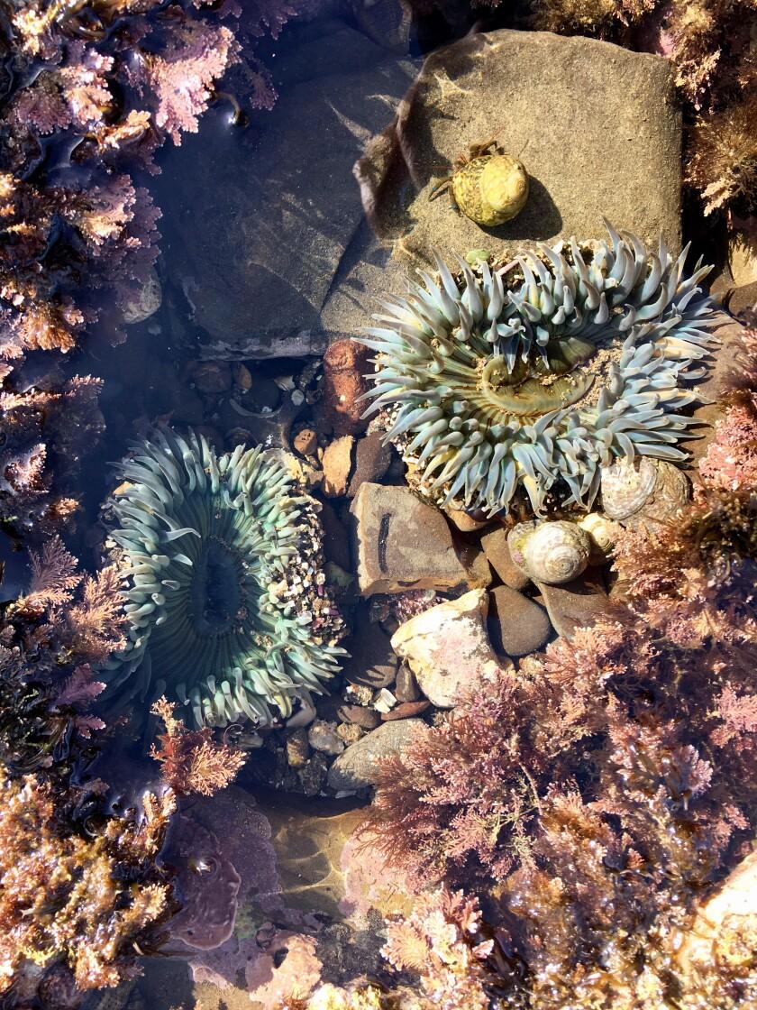 Two Starburst Anemones, San Pedro
