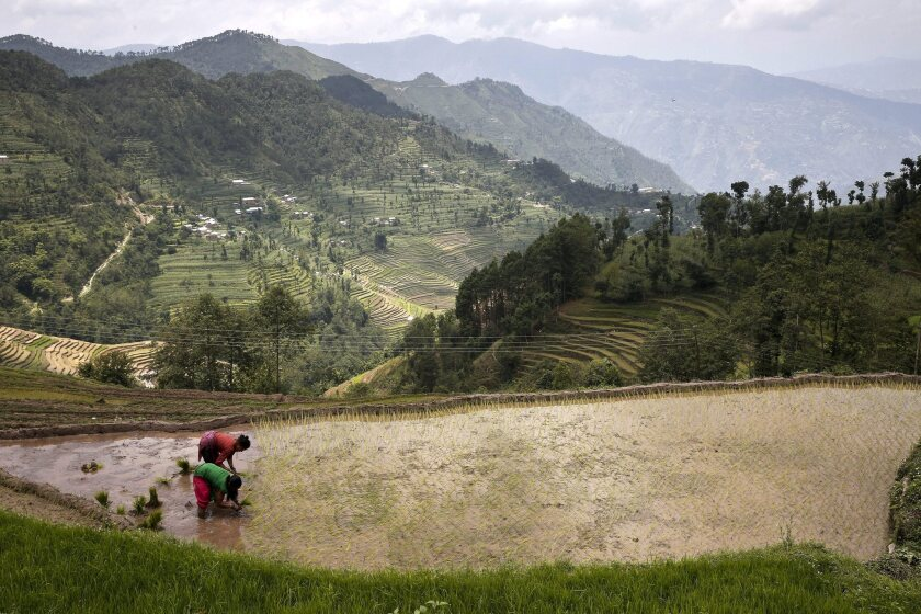 Rice grows in flooded paddies, emitting methane in the process. A new variety of genetically engineered rice can sharply reduce these greenhouse gas emissions, a study says. Above, a rice paddy in Nepal.