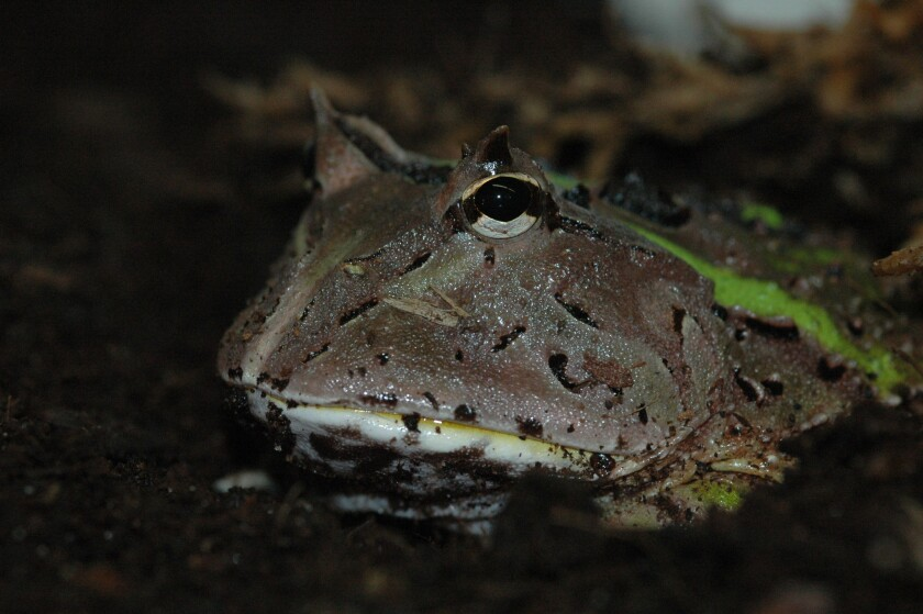 The South American horned frog is a sit-and-wait predator that, like all frogs, snatches its prey with its astonishingly sticky tongue.