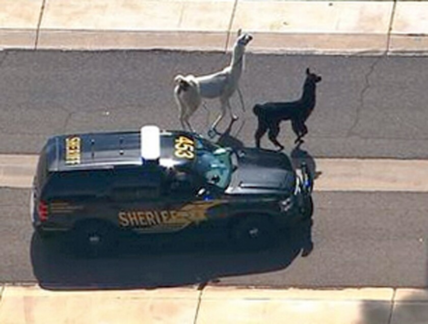 Two llamas ran loose through Sun City, Ariz., on Thursday, and the Maricopa County Sheriff's Department was called in to help catch them.