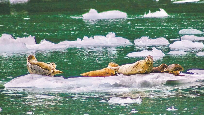 Harbor seals catch a ride on an iceberg in Prince William Sound.