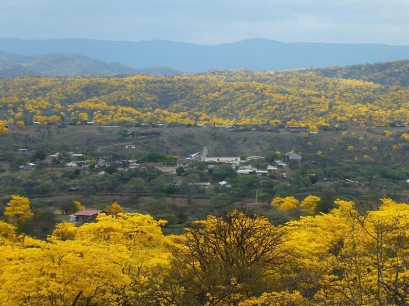 Fotografía cedida de un bosque de guayacanes en el cantón Zapotillo, en el sur de Ecuador. Zapotillo es uno de los cantones del sur de Ecuador que forman parte de la reserva de la biósfera declarada por a Unesco en 2015 y aunque los guayacanes están allí desde hace muchos años, fue desde 2012 que se comenzó a potenciar al turismo el espectacular florecimiento masivo de la milenaria especie. Esa explosión de vida y color ocurre normalmente una vez al año y dura máximo ocho días, por lo que las autoridades de Zapotillo han preparado rutas para los turistas, ferias culturales y aprovechan la ocasión para promocionar emprendimientos. EFE/Ministerio del Ambiente de Loja