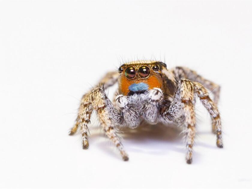 Jumping spider color vision