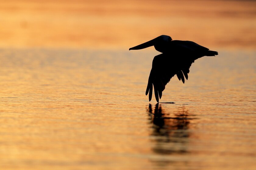 A brown pelican dips a wing into the Salton Sea in April. A state watchdog panel warned in a report Thursday that the sea faces a looming environmental disaster.