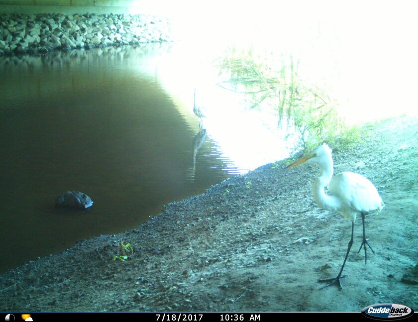 A white heron is captured on camera.