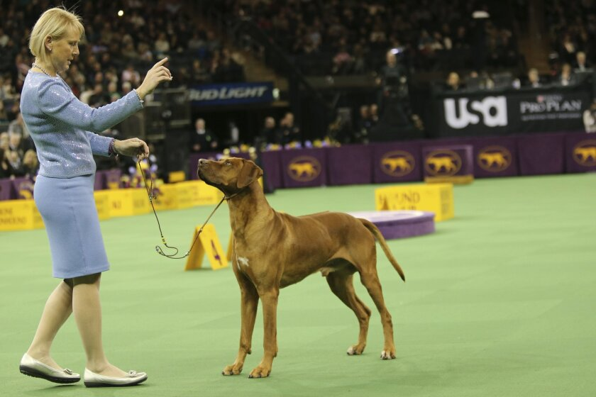 Michelle Scott shows her Rhodesian ridgeback in the ring during the hound group competition during the 140th Westminster Kennel Club dog show, Monday, Feb. 15, 2016, at Madison Square Garden in New York. (AP Photo/Mary Altaffer)