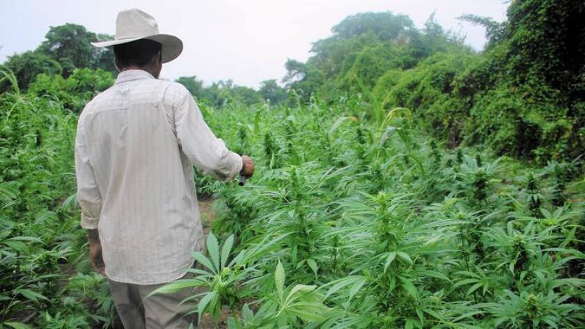 Este agricultor del oeste de México dice que comenzó a cultivar marihuana cuando era un adolescente. Dice que esta será su última cosecha.