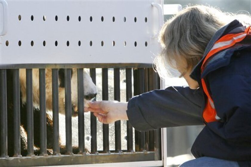 """Senior Zoo Curator Brandie Smith feeds 4 and a half-year-old giant panda Tai Shan a piece of pear shortly before the panda left the National Zoo for China in a steel crate in Washington, on Thursday, Feb. 4, 2010. """"I wanted to feed him pear because it's his favorite,"""" says Smith, """"he's a great bear with a great personality and he did a great job today."""" On Thursday, 3-year-old Mei Lan of Atlanta and 4½-year-old Tai Shan of Washington will fly to new homes in Sichuan, China, to become part of a panda breeding program. (AP Photo/Jacquelyn Martin, Pool)"""