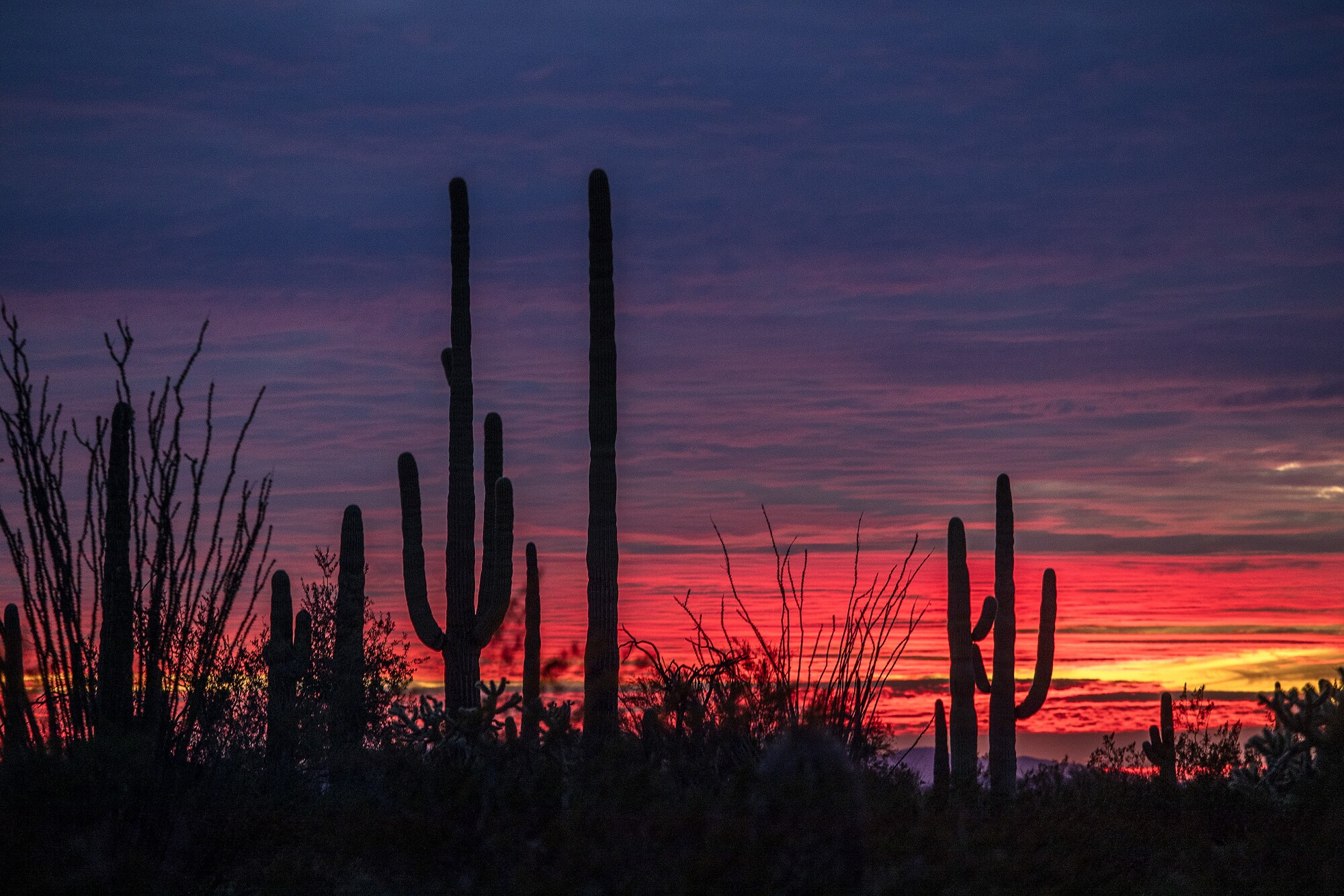 The sun sets behind saguaro cactuses and ocotillos on the La Abra Plain in Organ Pipe Cactus National Monument  in Arizona.