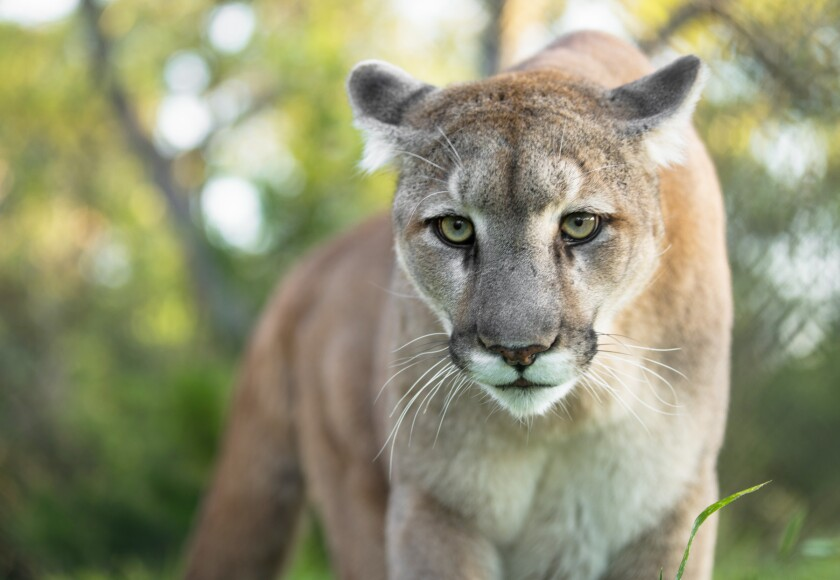 A mountain lion similar to this one was linked by DNA to an attack on June 12.