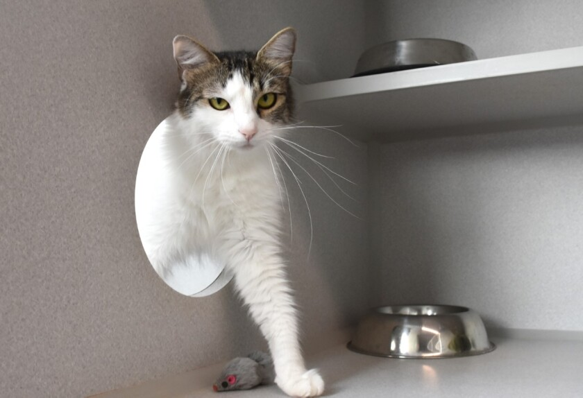 Pet of the week is a cat at Helen Woodward Animal Center