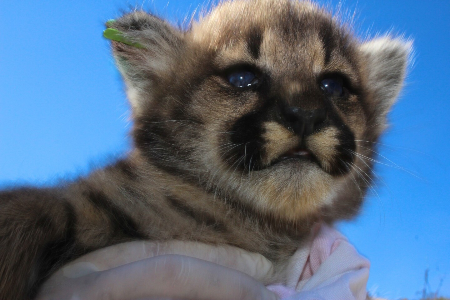 Litter of mountain lion kittens found in Simi Hills