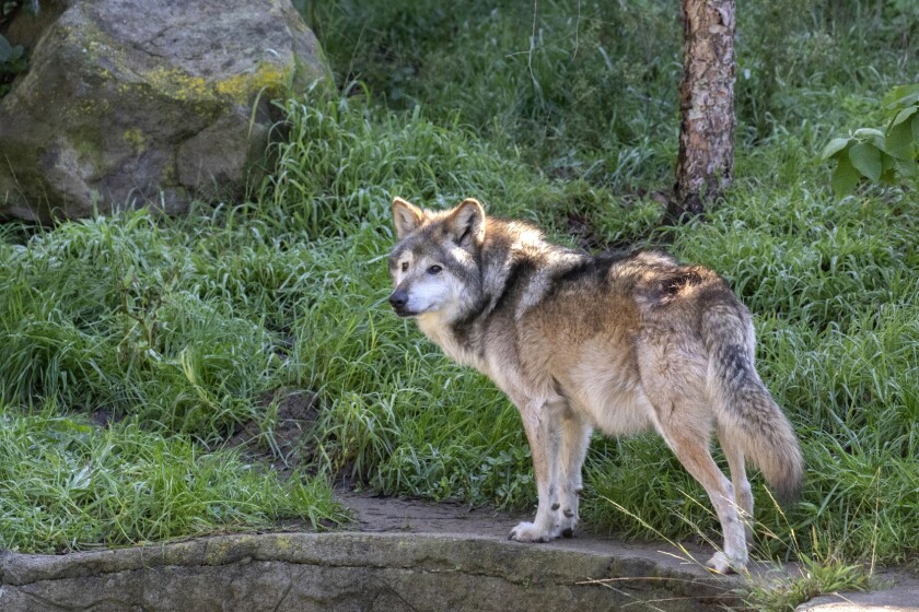 A wolf stands near greenery
