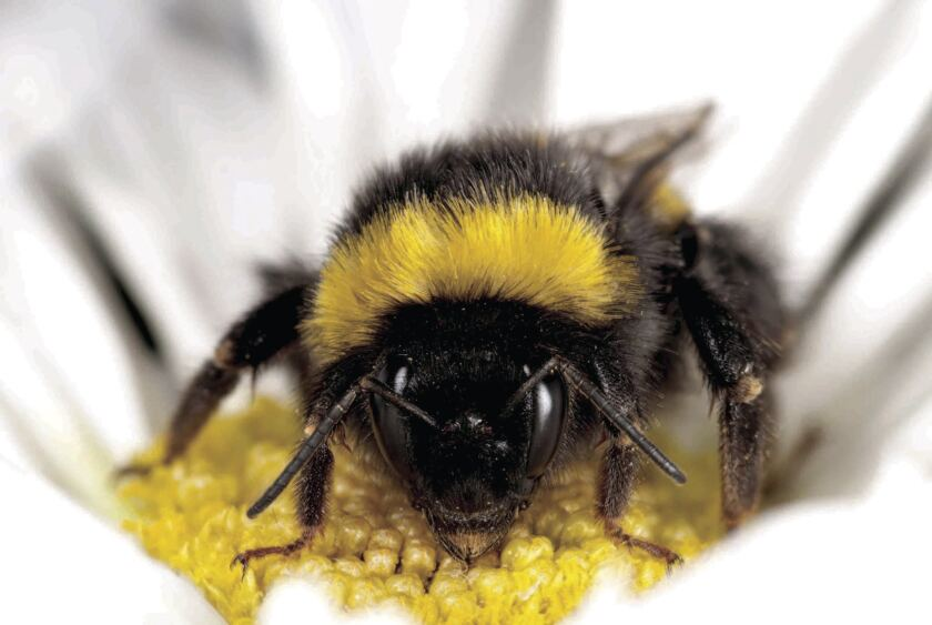 Bumblebees may be picking up deadly viruses from infected honeybees used to pollinate crops, a new study suggests.