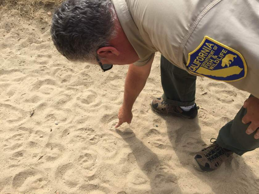 Andrew Hughan, information officer for the California Department of Fish and Wildlife, looks for coyote tracks in the sand along the southeast side of Grant Rea Park in Montebello on Aug. 9. The park was closed after a recent string of coyote attacks.