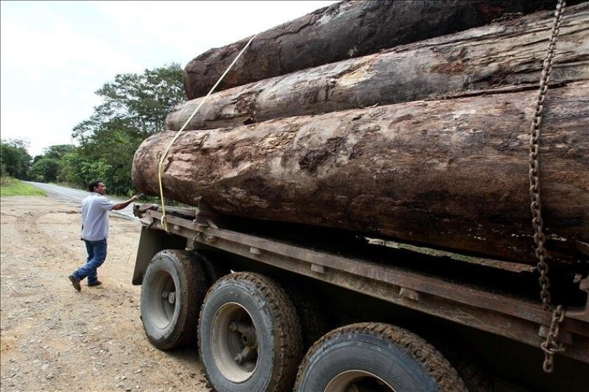 """Most of the timber comes from high-value trees like """"Tolu balsam, almond, mahogany and cocobolo,"""" and the main destinations are the United States, Europe and Asia, Panamanian Environment Minister Mirei Endara said. EFE/File"""