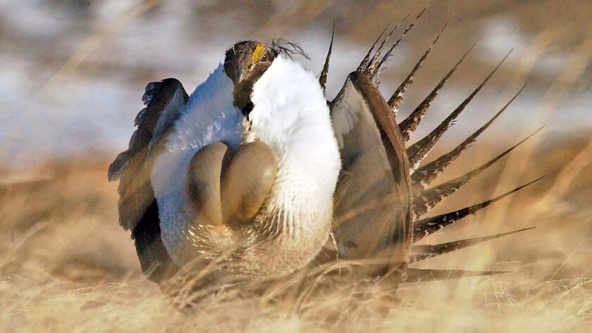 """FILE - In this April 15, 2008 file photo, a male sage grouse performs his """"strut"""" near Rawlins, Wyo."""