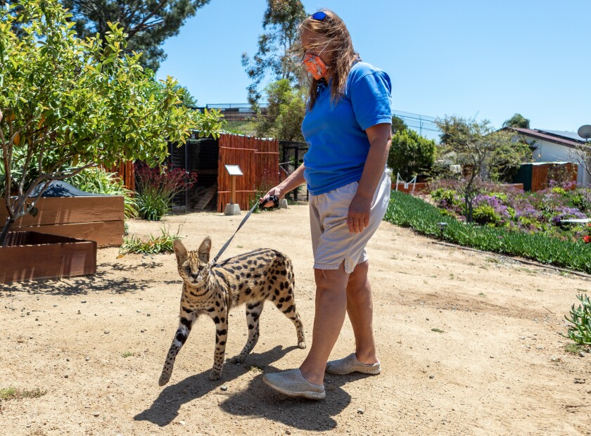 Wild Wonders executive director Jackie Navarro walks Sabi, an African serval cat on Monday, just after she announced during a Facebook Live broadcast that she was reopening her Bonsall wildlife center for public tours. After losing all of its spring/summer income to COVID-19 and not getting federal loans, Wild Wonders need income to feed its animals and pay its staff.
