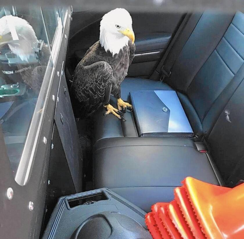 Eagle rescued after being hit by a car