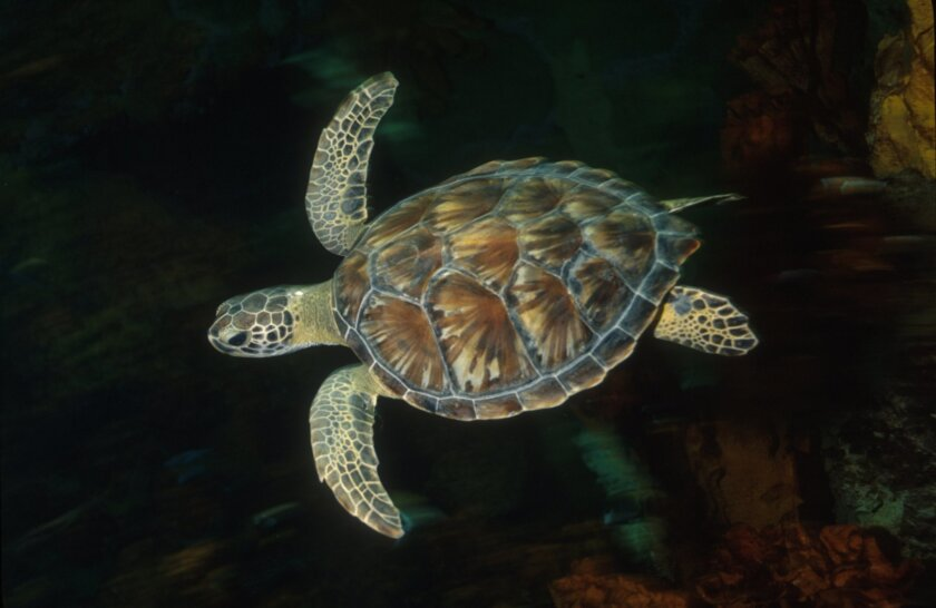 Green sea turtles were among the species targeted with more than $1 million in grants announced Thursday by the SeaWorld & Busch Gardens Conservation Fund.