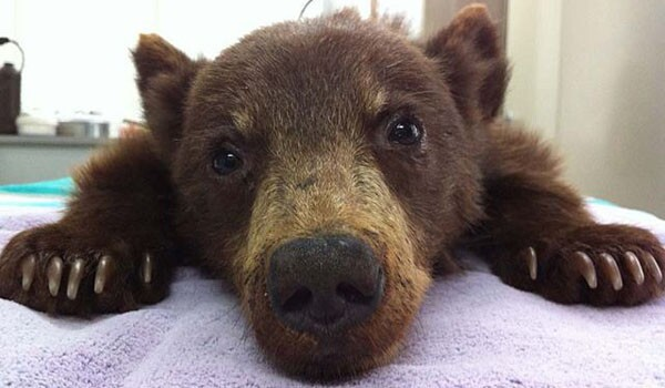'Crying, confused' abandoned bear cub rescued