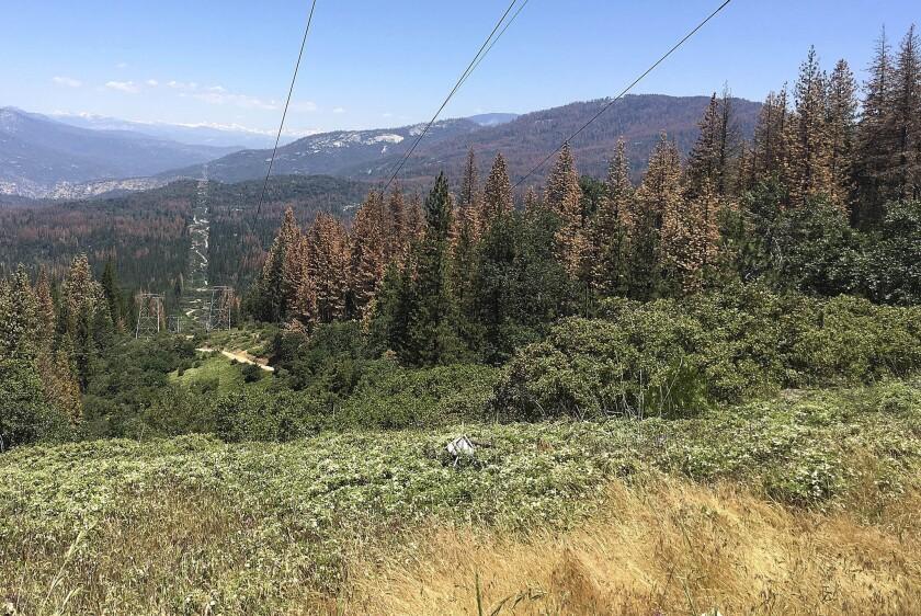 En esta imagen del 6 de junio se observan varios árboles muertos o en proceso de morir cerca de Cressman, California. El Servicio Forestal Federal anunció el miércoles 22 de junio de 2016 que el número de árboles en los bosques de la Sierra Nevada de California que han muerto a causa de la sequía y de una epidemia del escarabajo descortezador, se ha incrementado dramáticamente desde el año pasado. (AP Foto/Scott Smith)