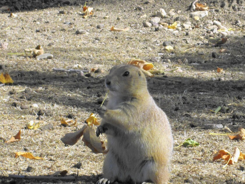 One of about 150 prairie dogs that live on 2.5 acres that Naropa University bought for expansion.