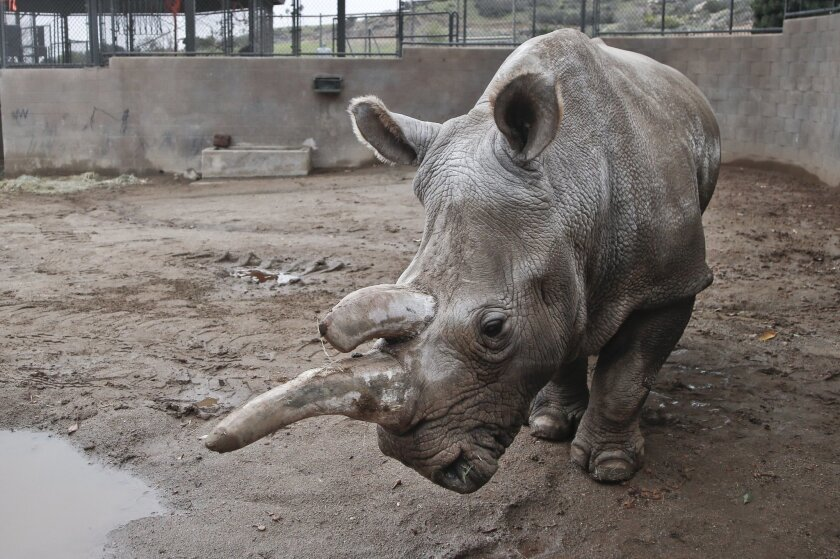 In this Dec. 31, 2014, file photo, Nola, a 40-year-old northern white rhino who is only one of five remaining of the species, wanders around her enclosure at the San Diego Zoo Safari Park on a cold winter day in Escondido, Calif. Six female southern white rhinos arrived on a chartered MD11 flight f