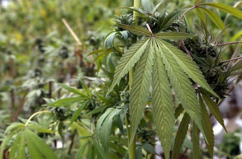 Las autoridades del Condado Elbert, en Colorado, identificaron hoy a los dos hombres que el jueves perdieron la vida tras enfrentarse con armas de fuego en un domicilio, en un suceso relacionado con una plantación ilegal de marihuana. EFE/ARCHIVO