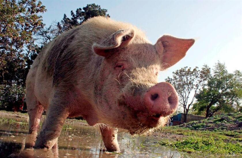 Estados Unidos otorgó a México el reconocimiento de país libre de Fiebre Porcina Clásica (FPC), por lo que ahora permitirá las importaciones de carne y derivados porcícolas desde todo el territorio nacional, informó hoy el Gobierno mexicano. EFE/ARCHIVO