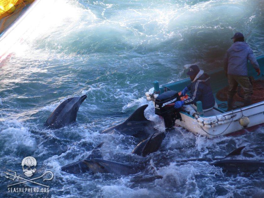 Dolphin hunt in Taiji, Japan