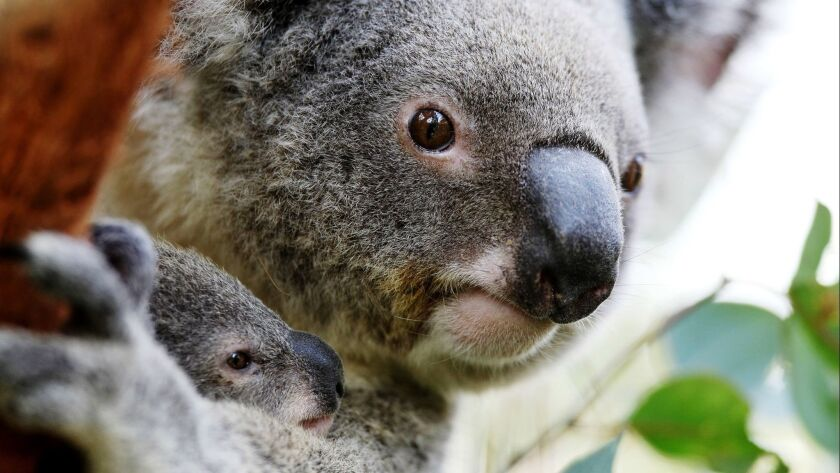 Joey Koalas Emerge From Their Mothers Pouches
