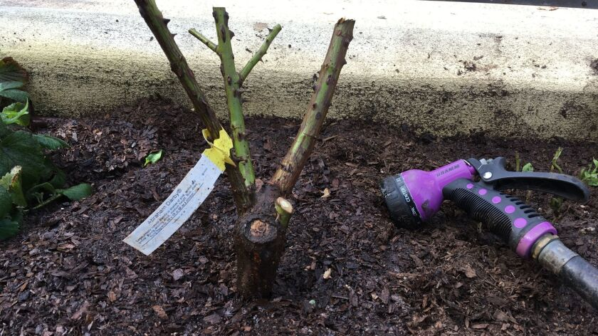 A newly planted bare root rose is mulched and watered well after planting.
