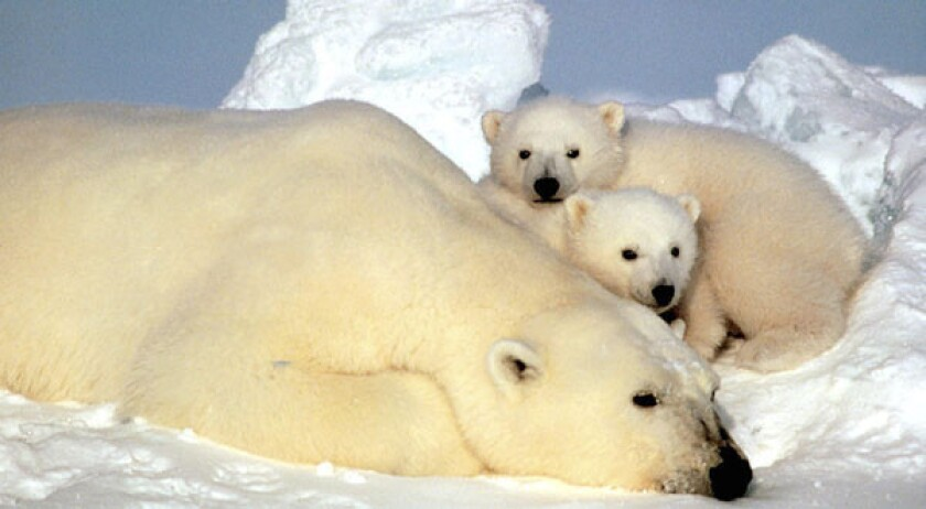 Federal court upholds polar bear status as threatened species