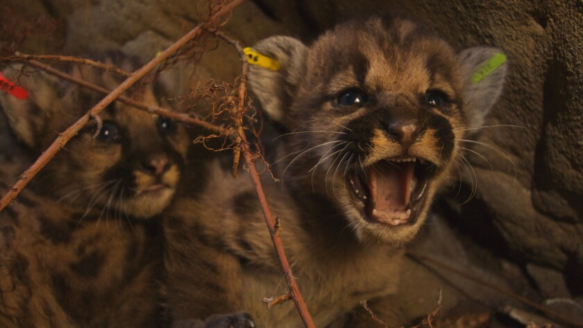 Kittens P-50, P-51 and P-52, offspring of P-39, were found this summer in their den in the Santa Susana Mountains.