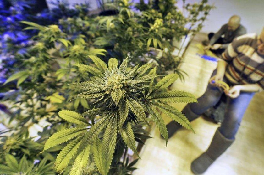 """Sheila Kuehl sostuvo que hay que esperar """"hasta que veamos lo que los votantes de California van a hacer en noviembre"""", refiriéndose a la medida estatal que legaliza la marihuana."""