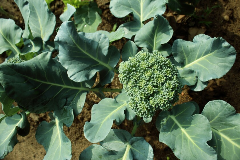Now is the time to start planting broccoli and other cool-season vegetables.
