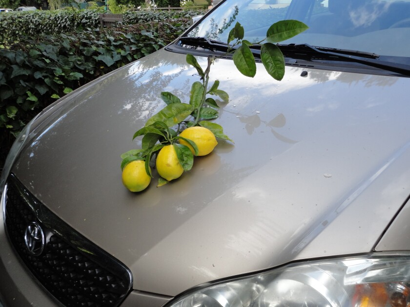 A lemon tree branch torn off by wind rests on a car — irrefutable evidence of how rough San Diego's weather can be.