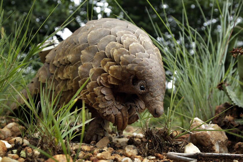 A pangolin looks for food in Johannesburg, South Africa, in 2019.