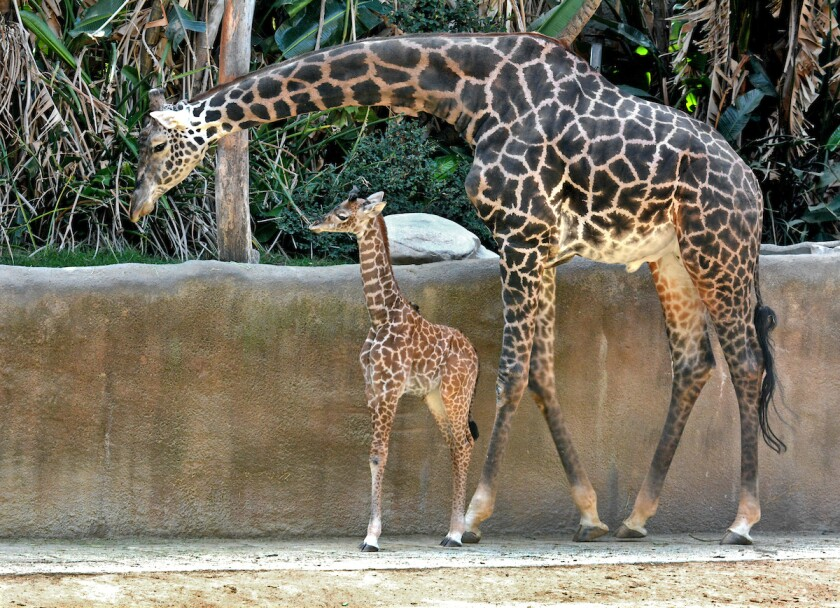 That new baby giraffe at the L.A. Zoo? It was 6½ feet tall at birth